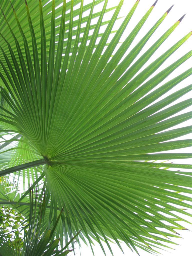 Листья пальмы сабаль