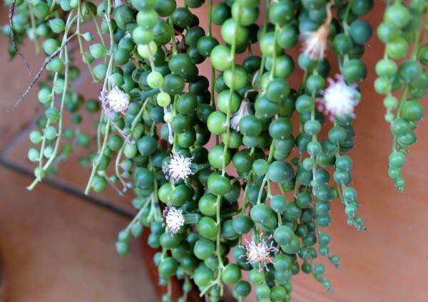 Цветок сенецио
