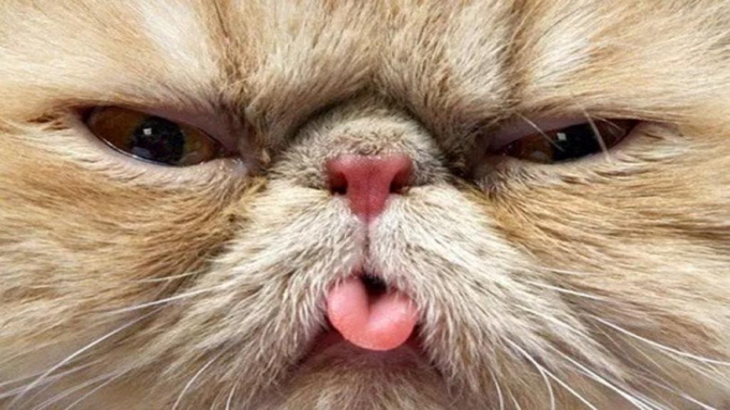 Кот с высунутым языком болезнь