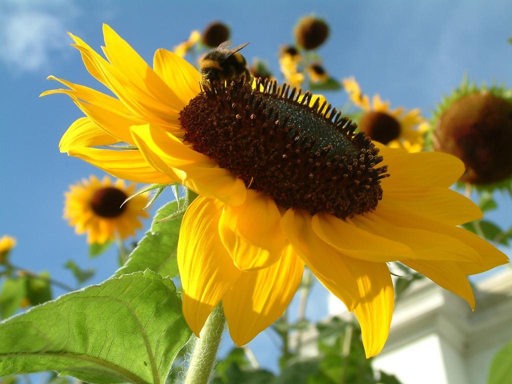 чем полезны пророщенные семена подсолнечника