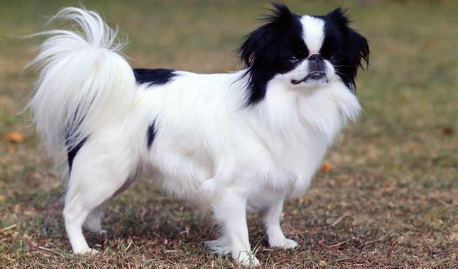 собака китайский хин