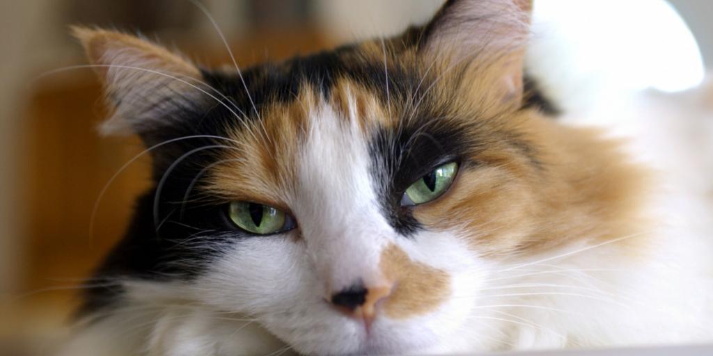 почему не бывает трехцветных котов биология