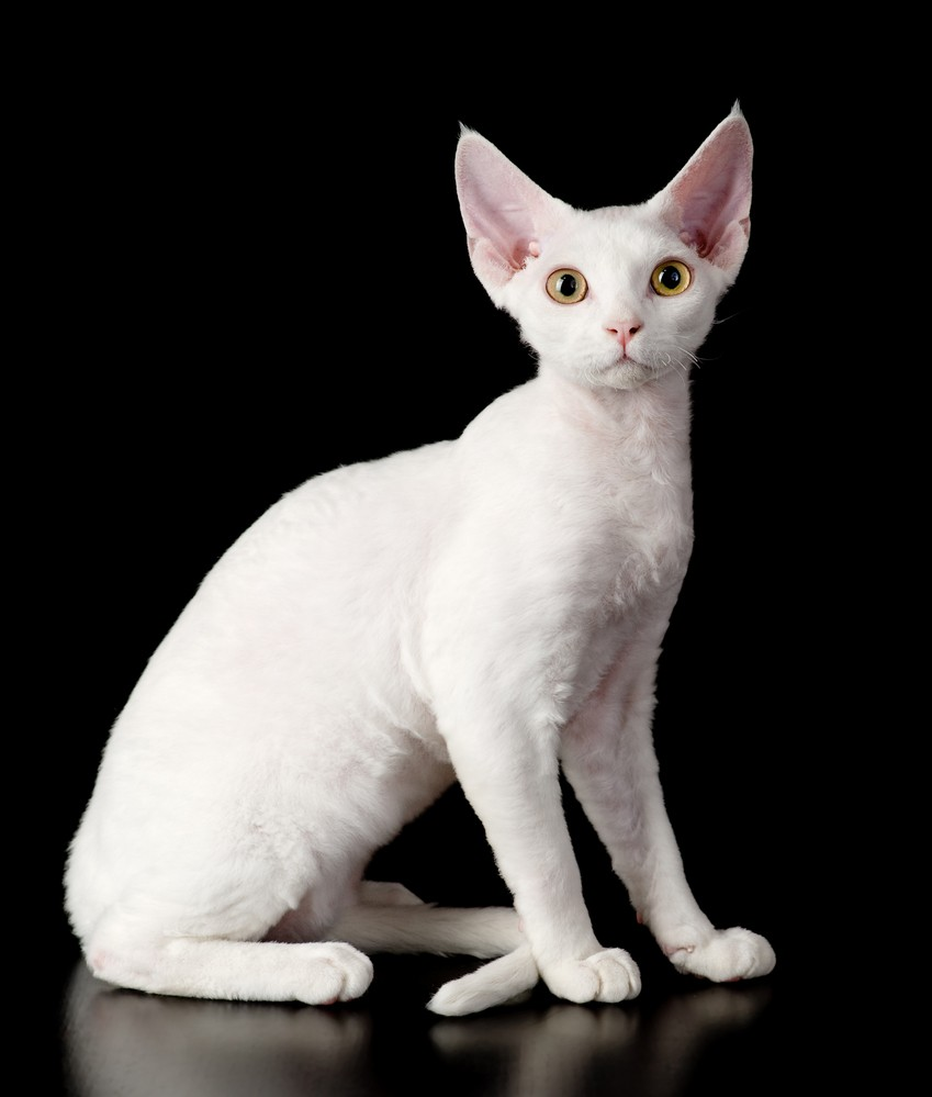Английская порода кошек девон-рекс