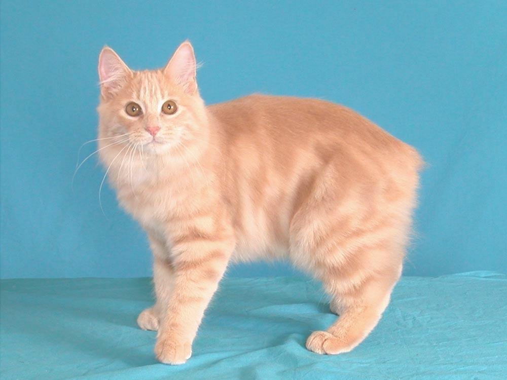 Название английских пород кошек с фото thumbnail