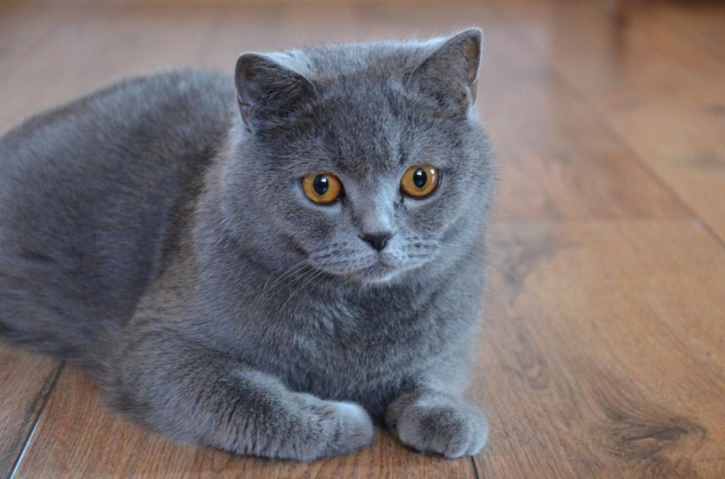 Порода кошек английская голубая