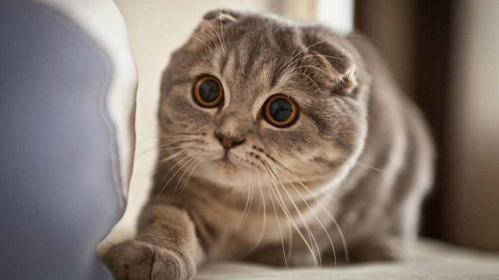 Порода кошек скоттиш-фолд