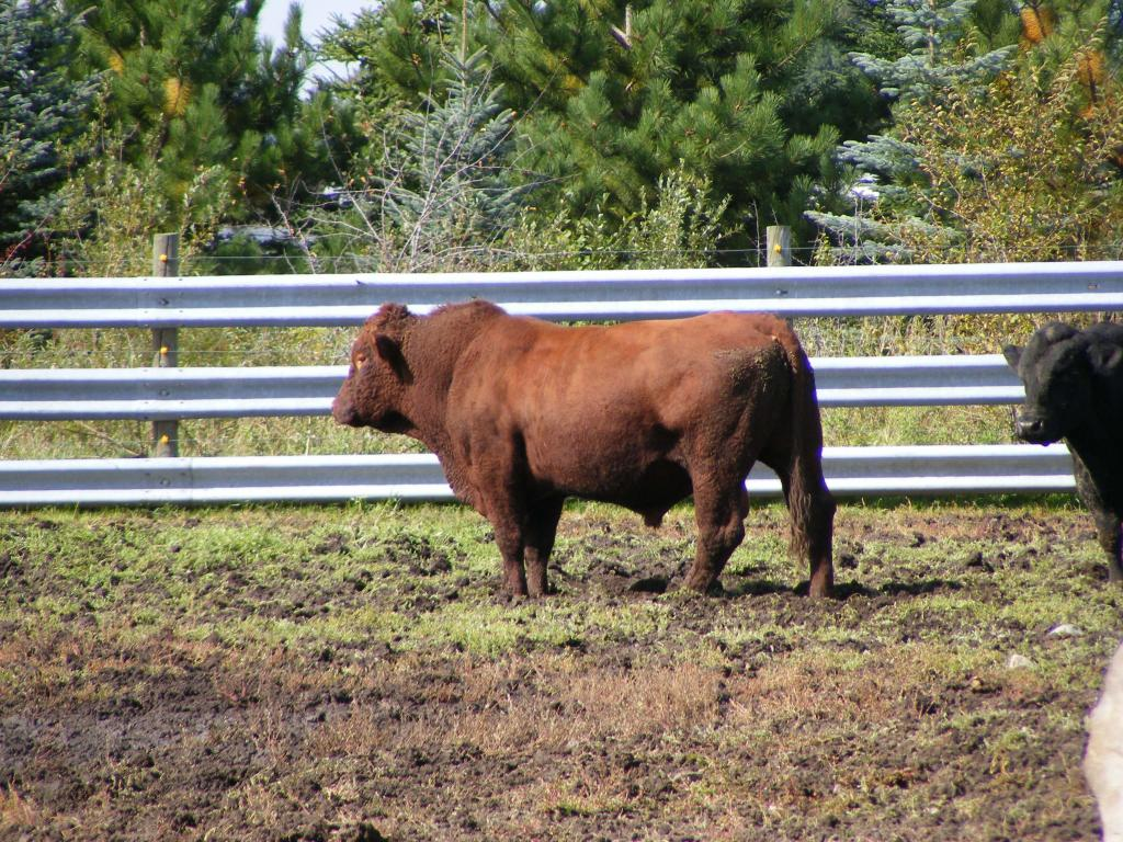 Откорм бычков в домашних условиях