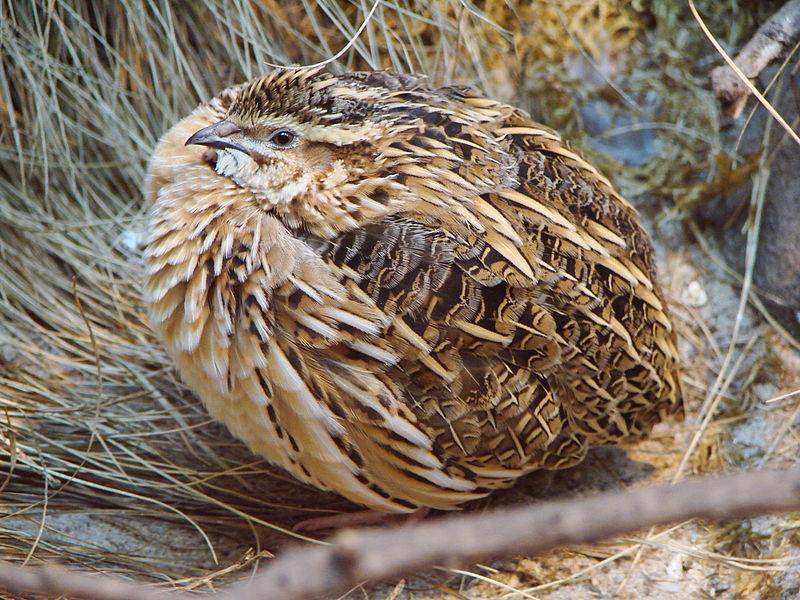 перепел перелетная птица