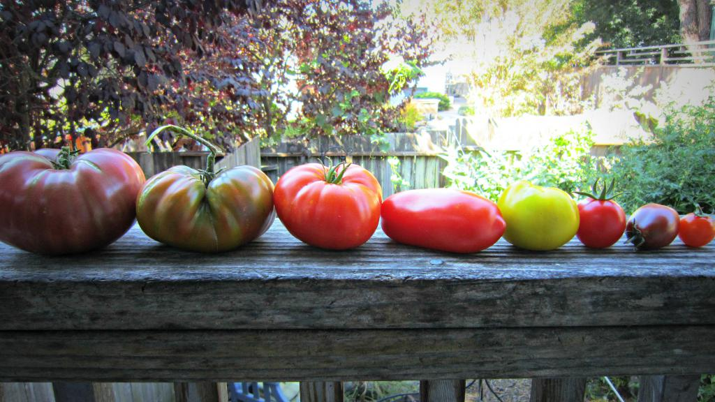 разные сорта и размеры томатов