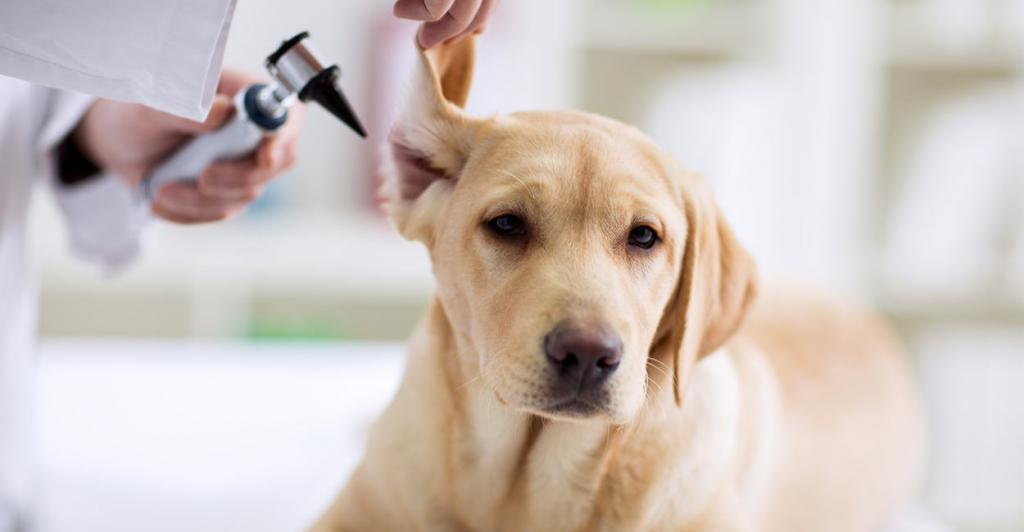 болезни щенков лабрадора и их признаки