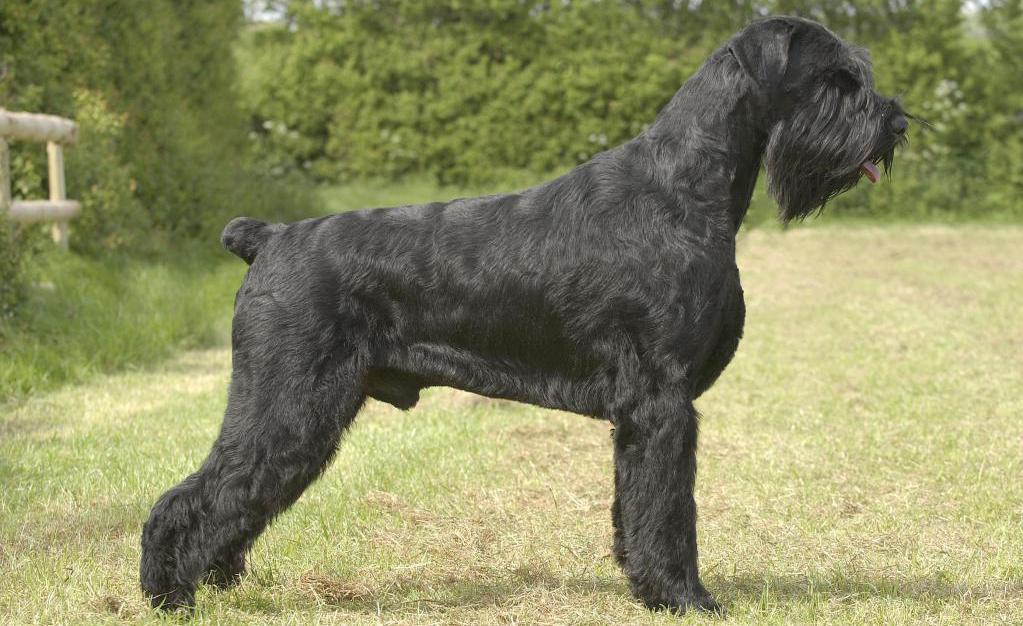 порода бородатых собак