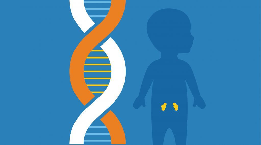 1. Заболевание почек может быть связано с генетикой