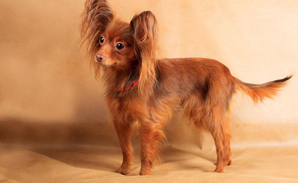 собака той терьер с коричневой шерстью