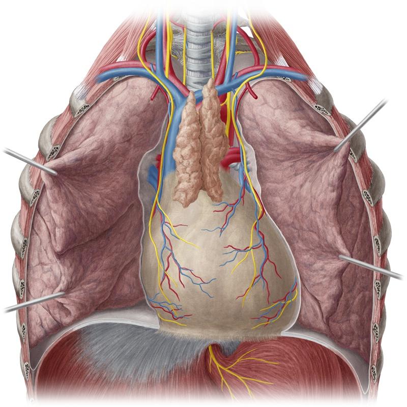 Анатомия легкого