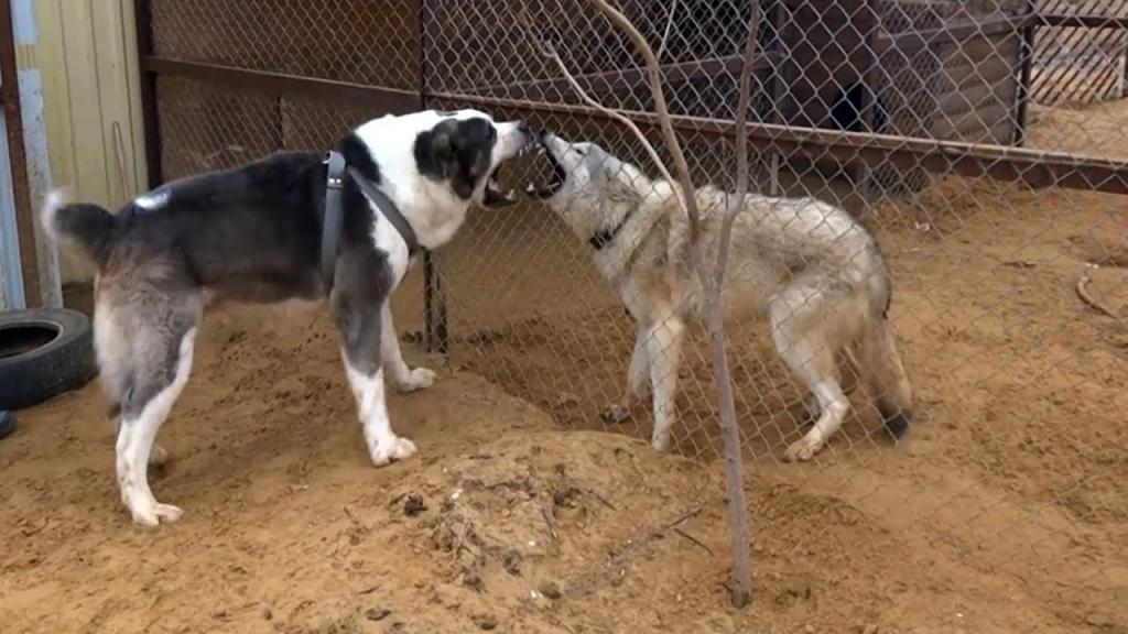 Алабай против волка кто сильнее