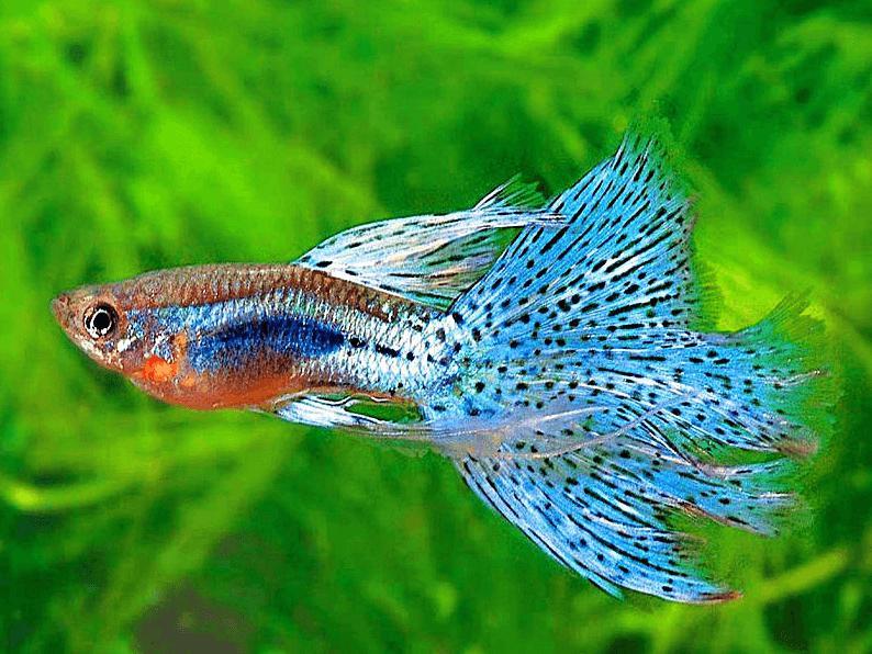 температура в аквариуме для рыбок гуппи