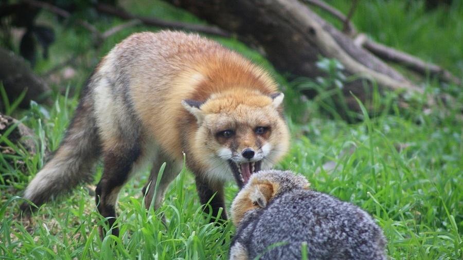 Нападение бешеной лисицы