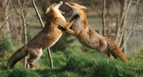 Драка лисиц во время гона