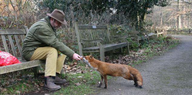 Больная лисица подходит к человеку
