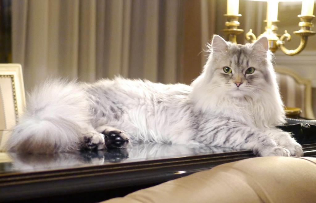 сибирская гипоаллергенная кошка