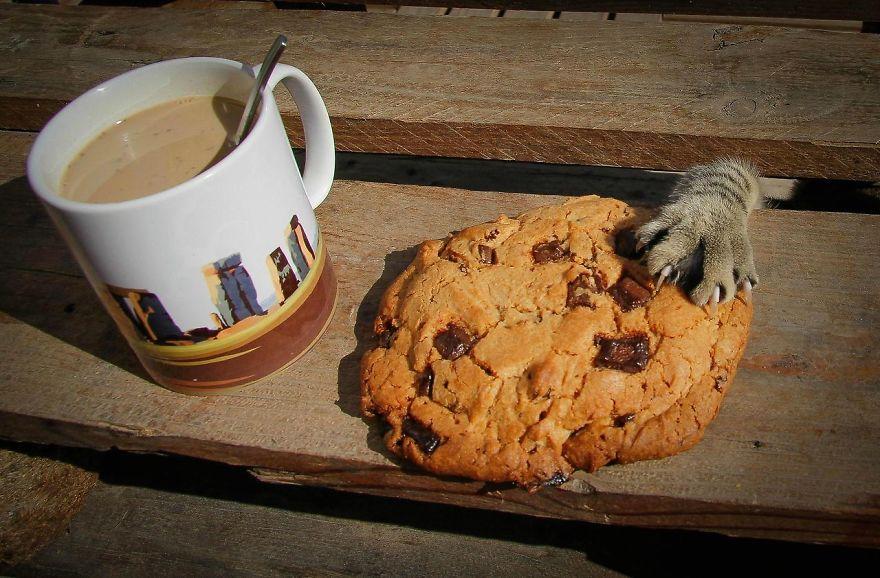 кот крадет шоколадное печенье