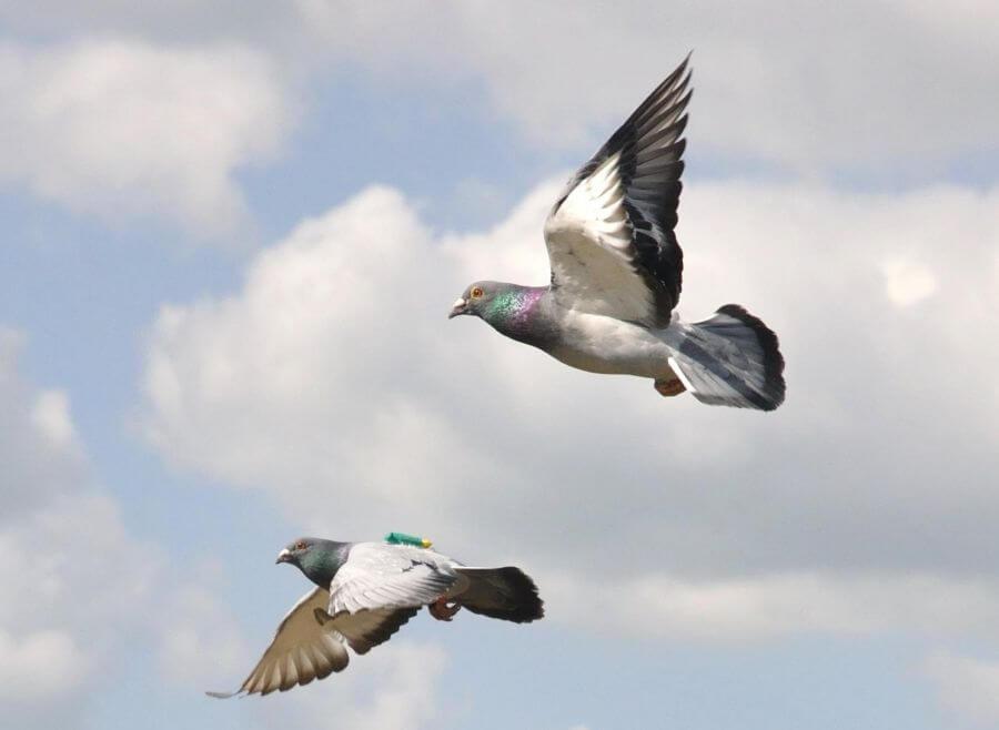 Два голубя