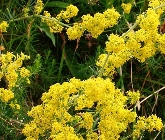 У подмаренника желтые цветы