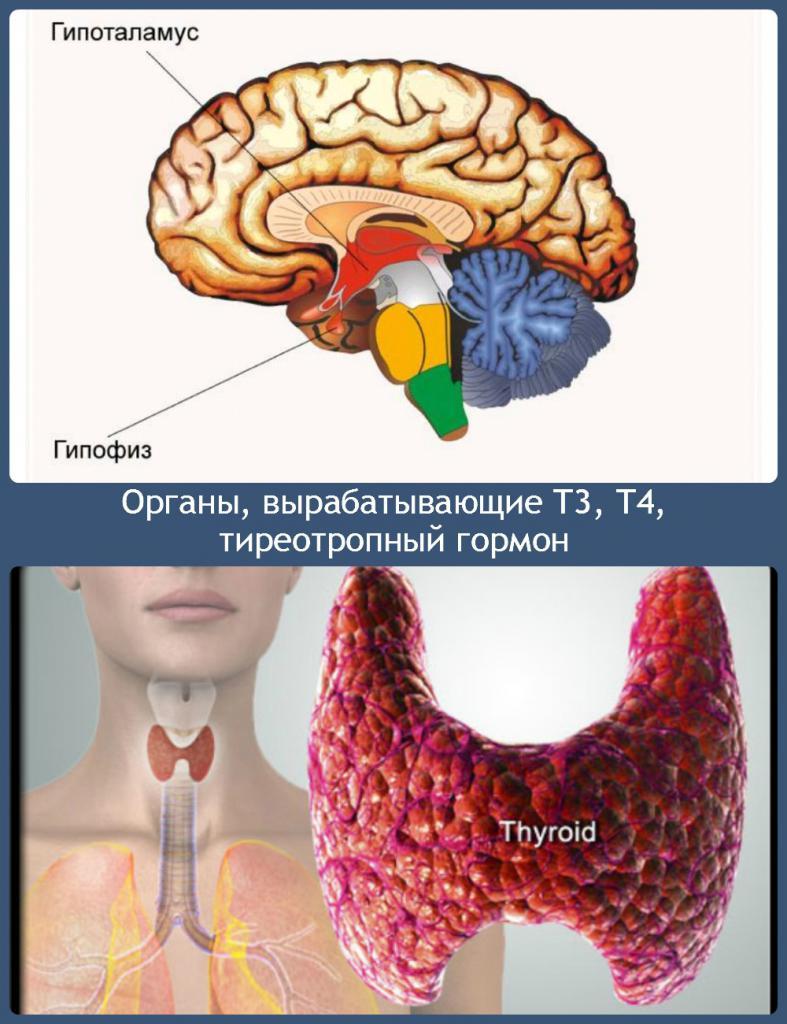 органы, вырабатывающие гормоны щитовидки