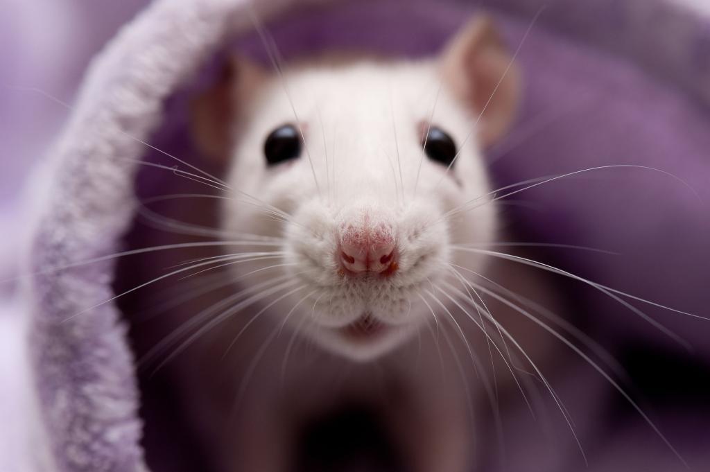 Крысиная морда
