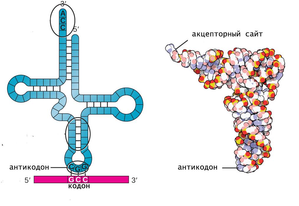 вторичная и третичная структуры тРНК