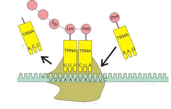 адапторная фунция тРНК