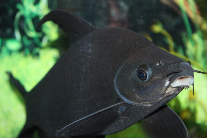 Черная пресноводная акула