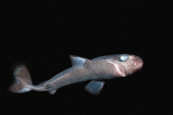 Карликовая акула в темноте