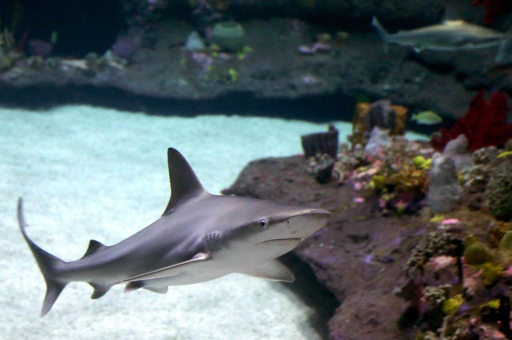 Акула в большом аквариуме