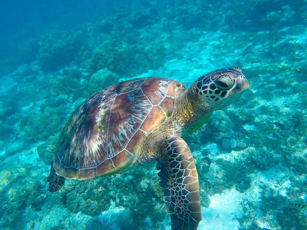 как дышит черепаха под водой