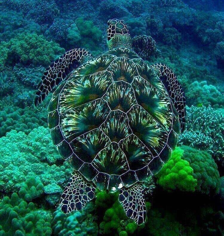 как дышат морские черепахи