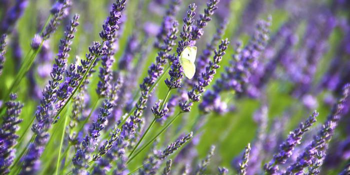 the characteristics and uses of lavender Also known as english lavender lavandula this shrubby perennial can be also be pruned into an informal hedge or used as edging special characteristics.