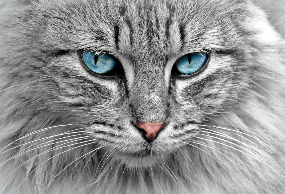 Серый, синий или дымчатый кот