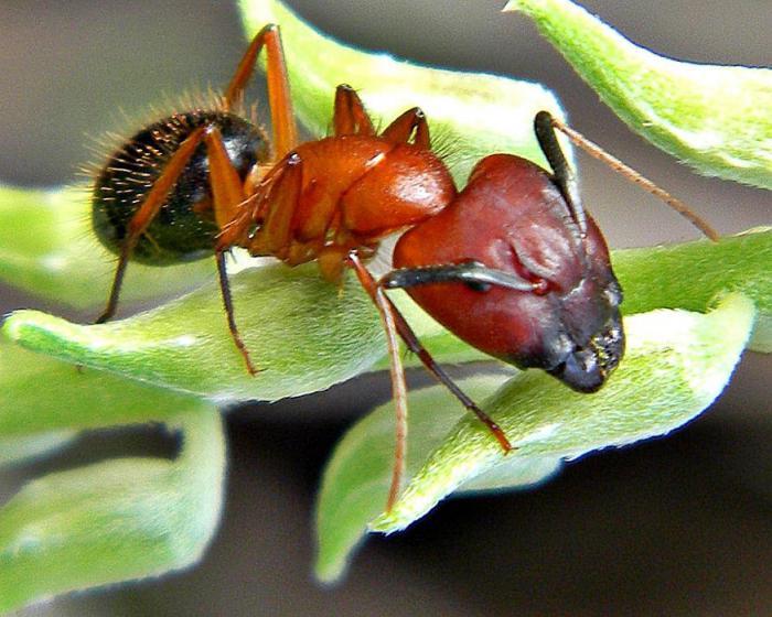 генетическая модификация муравьев