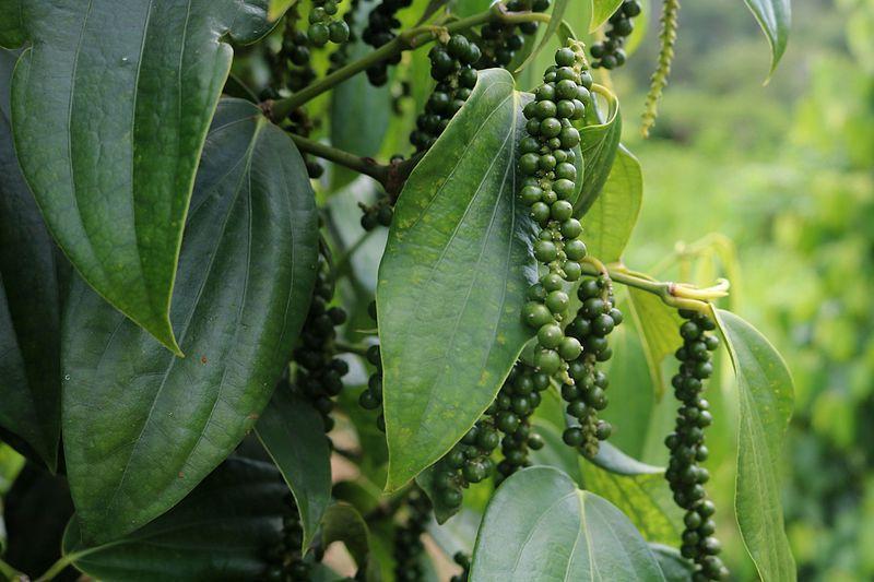 Как растет черный перец горошек показать фото