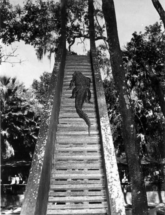 Аллигаторы лазают по деревьям