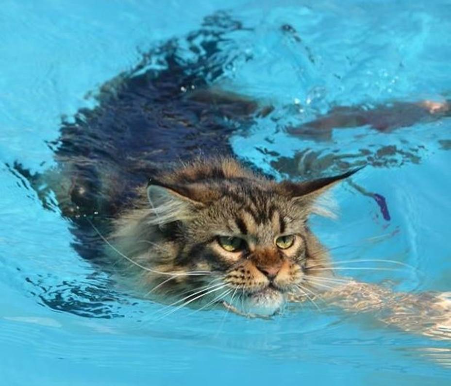 Картинки плавающий кот