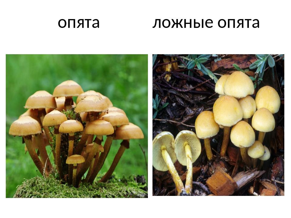 Грибы беларуси съедобные и их описание фото торт