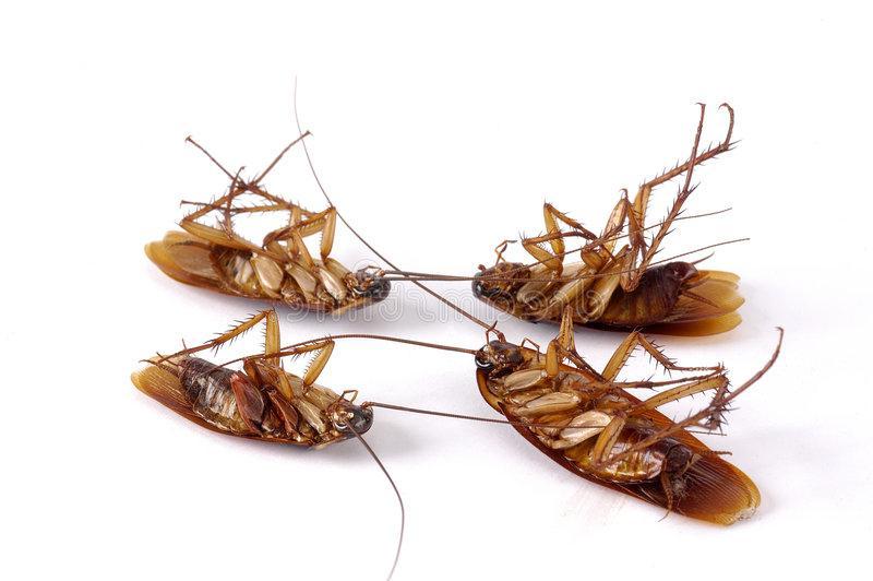 Что заставило тараканов уйти из наших квартир: излучение мобильника, пища и др.