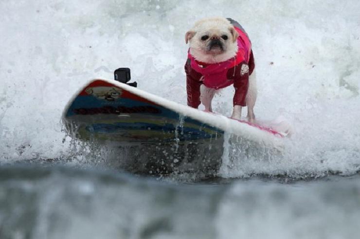 Калифорнийские собаки-серферы покорили интернет: фотоподборка питомцев-спортсменов, предпочитающих активный отдых