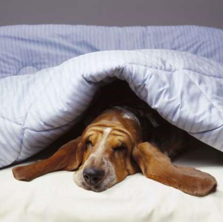 Лучшие породы собак для тех, кто не любит подвижный образ жизни. Правильно выбираем себе питомца