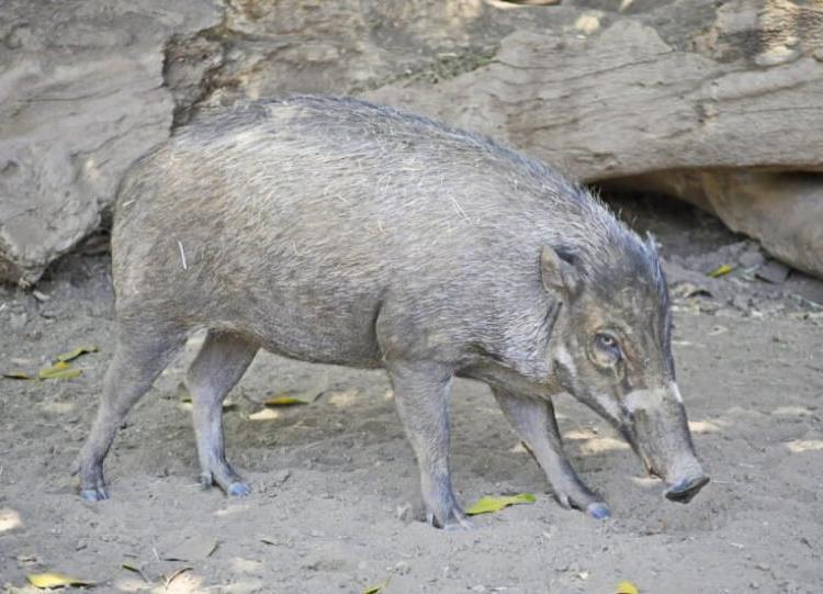 Почти как человек? В парижском зоопарке свинья научилась орудовать палкой, чтобы копать землю