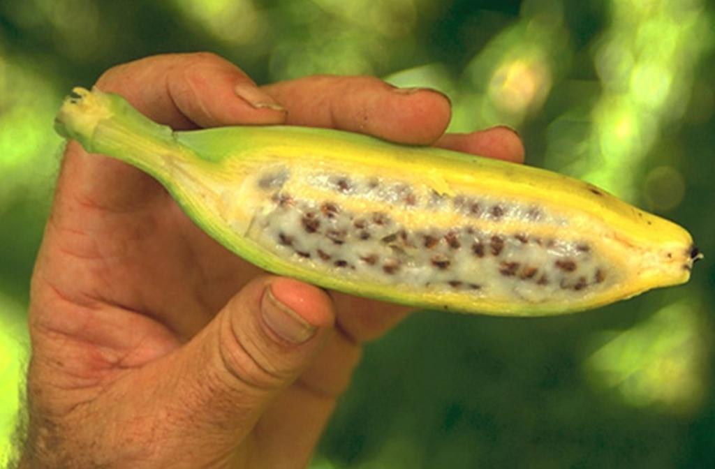 части как выглядит настоящий банан фото ухода