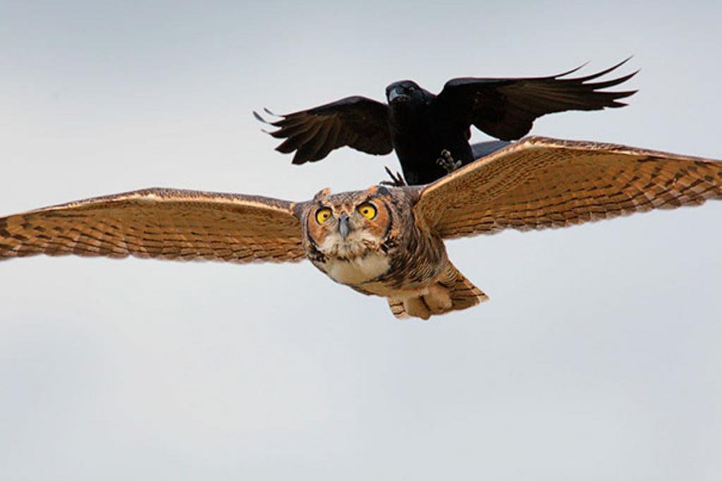 Ворон сова картинки