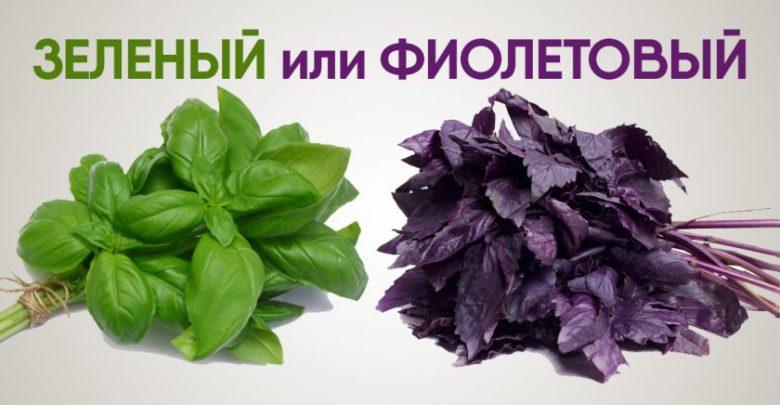 Какой базилик лучше зеленый или фиолетовый
